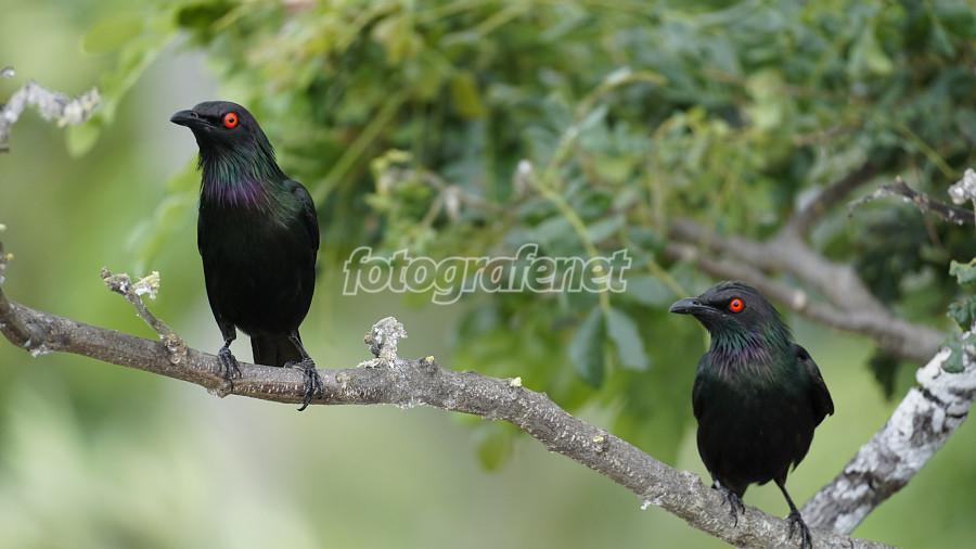 Fotografer Net Galeri Aplonos Panayensis Cucak Keling Burung Mata Merah